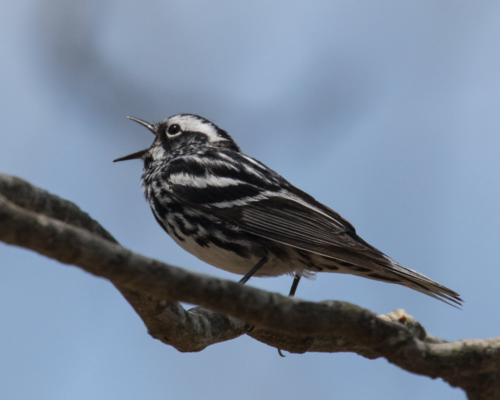 Copy of Black and White Warbler