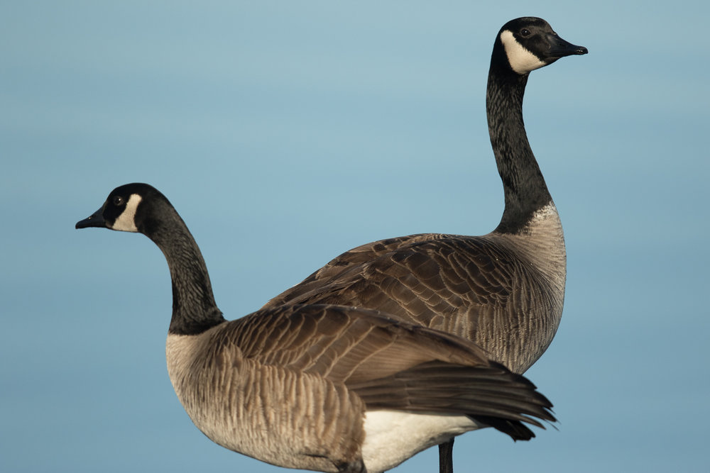 Copy of Canadian Geese