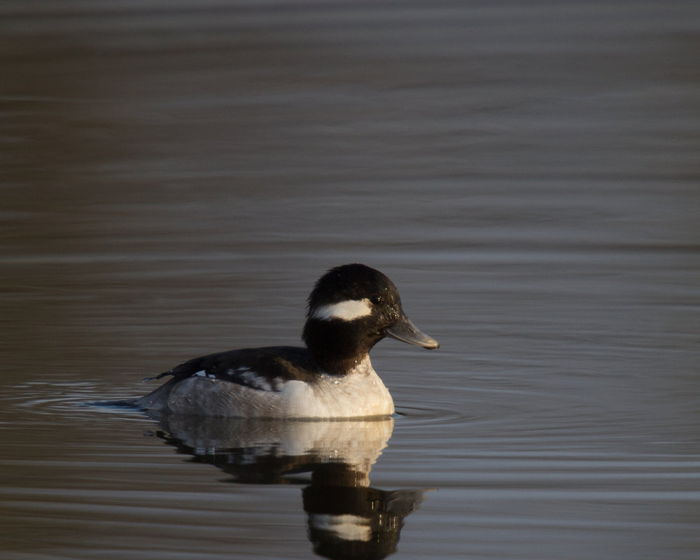 Bufflehead, female