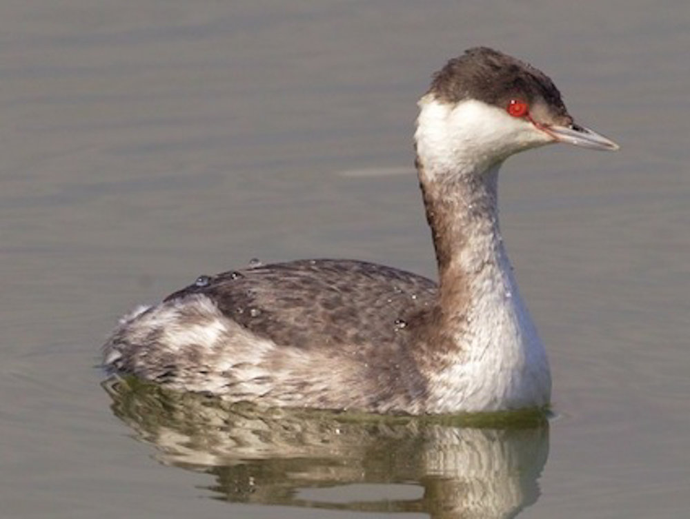 Copy of Pied-billed Grebe