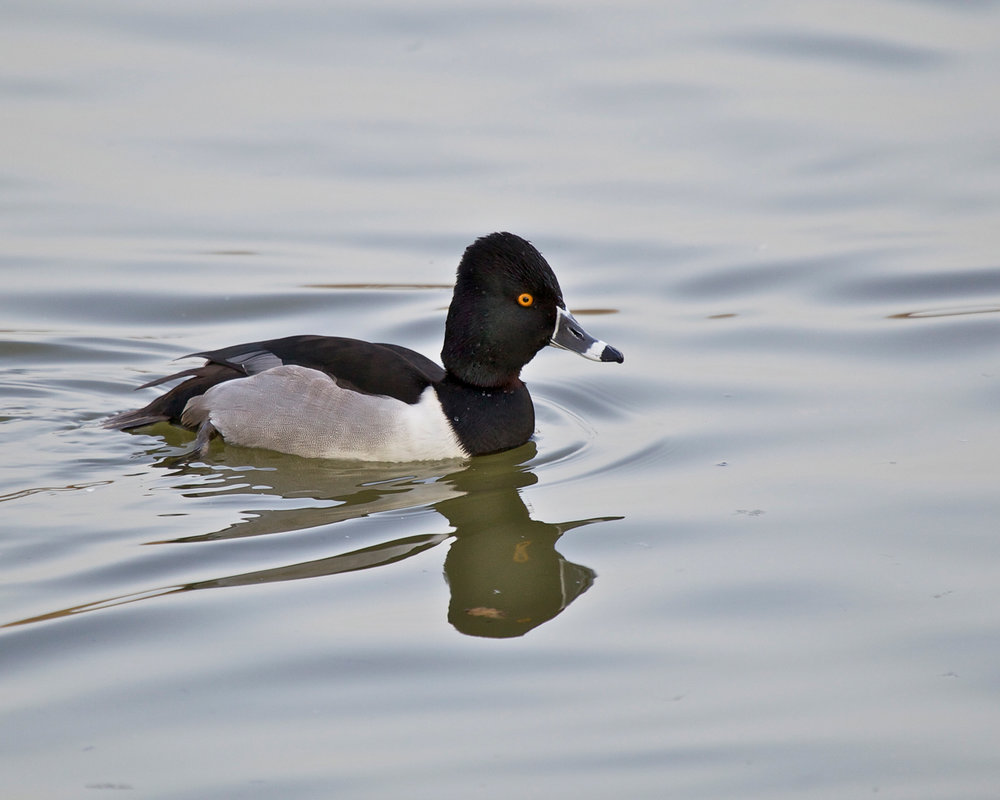 Copy of Ring-necked Duck, male