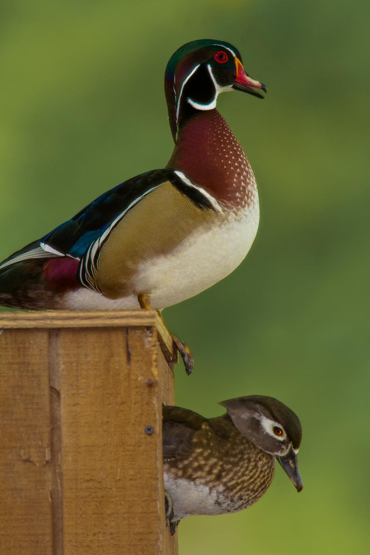 Copy of Wood Ducks
