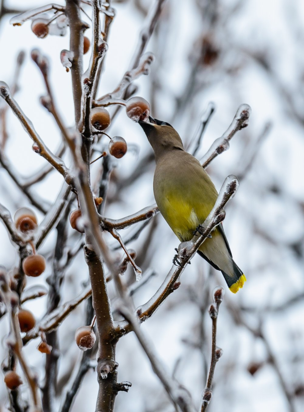 Cedar Waxwing chips away the ice - photo John Taylor.