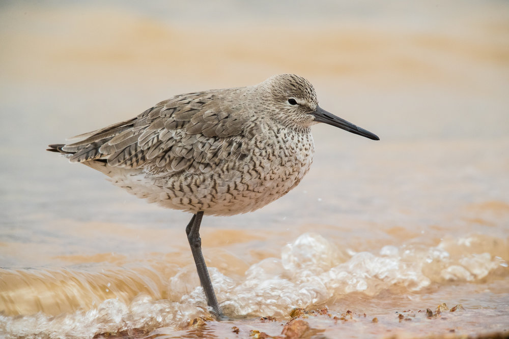 Willet  Photo Vic Prislipsky