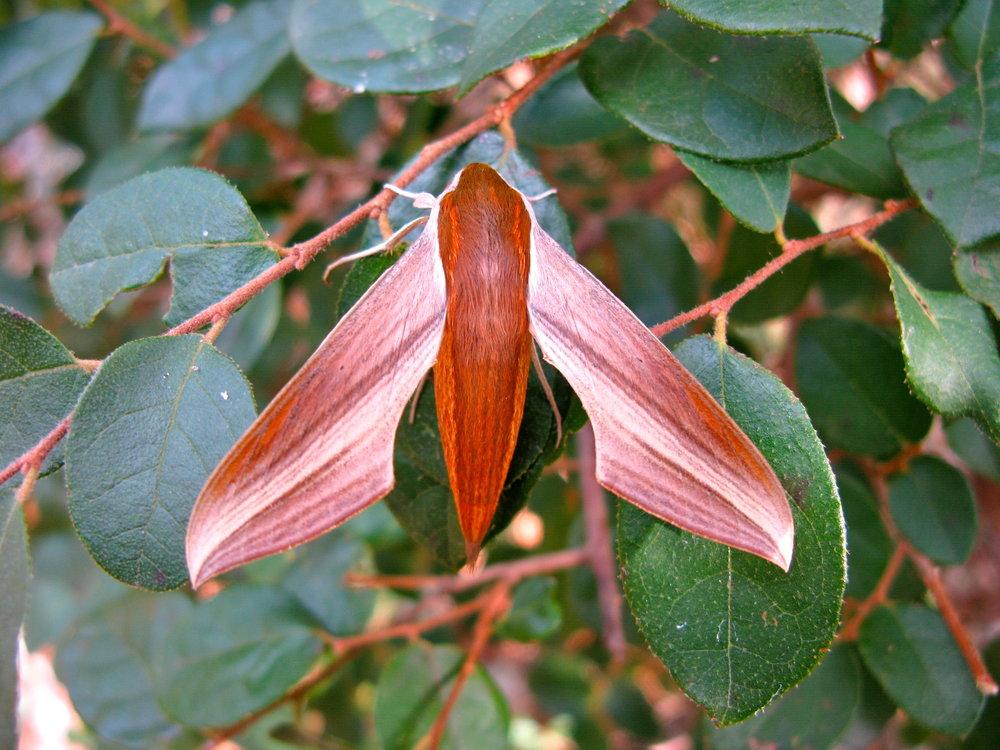 Tersa Moth