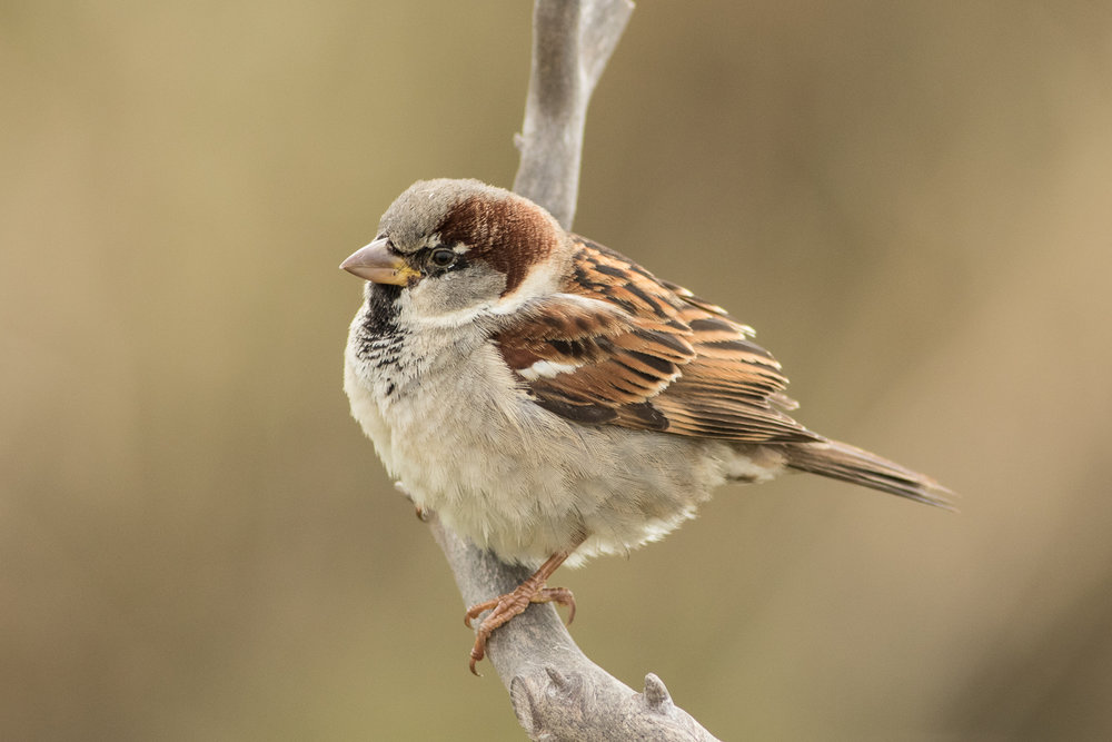 HouseSparrow57.jpg