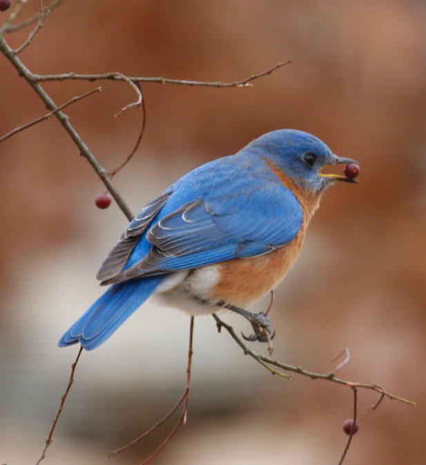 We focus on bluebirds and nuthatches. Eastern Bluebird, male,  Photo    by Curt Carlson.