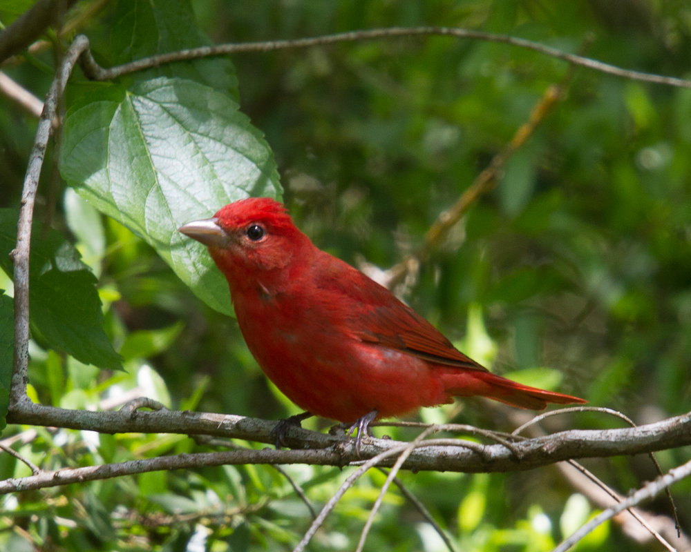 Rosy red male is alert and on the look-out for insects, high in the tree. -  Photo by Vic Prislipsky.