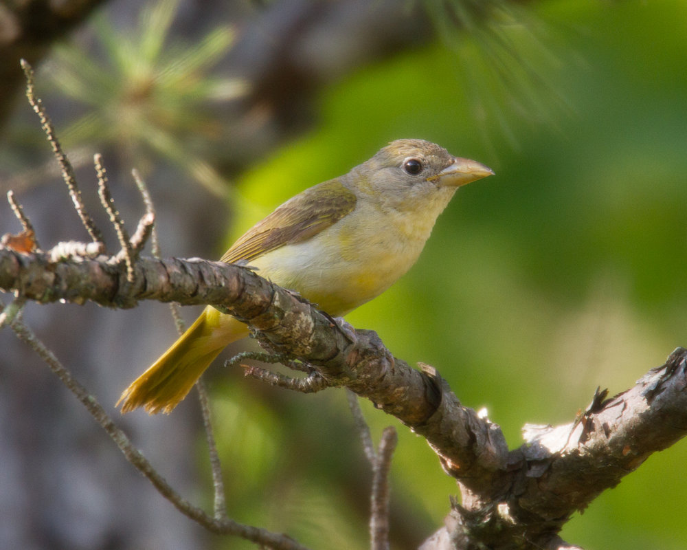The female Summer Tanager is slightly smaller than the male, but equally chatty.  Photo by Vic Prislipsky.