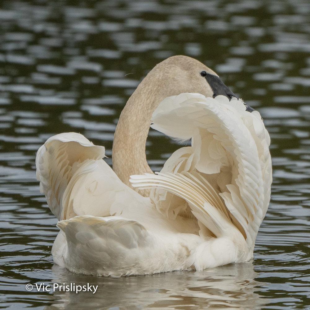 Trumpeter Swan - Photo by Vic Prislipsky