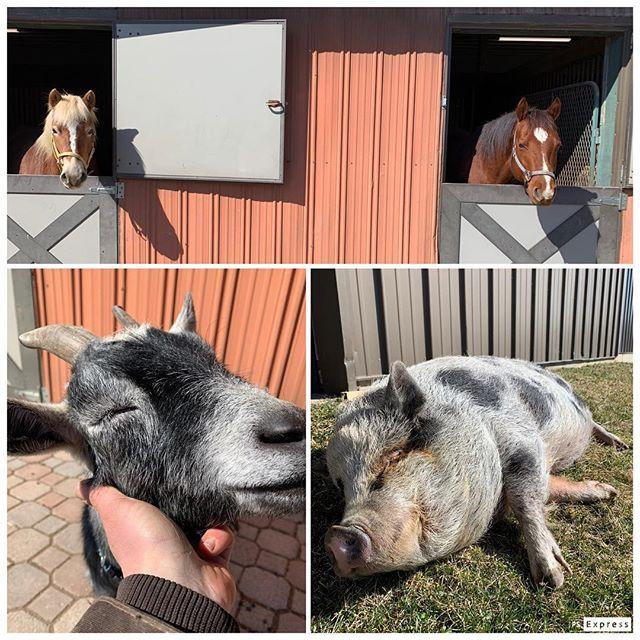 Sunshine!!!!!☀️ #spring #sunsoutgunsout #horse #pig #goat