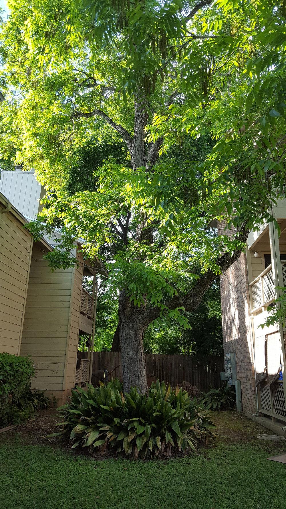 Pecan Creek E2 tree.jpg
