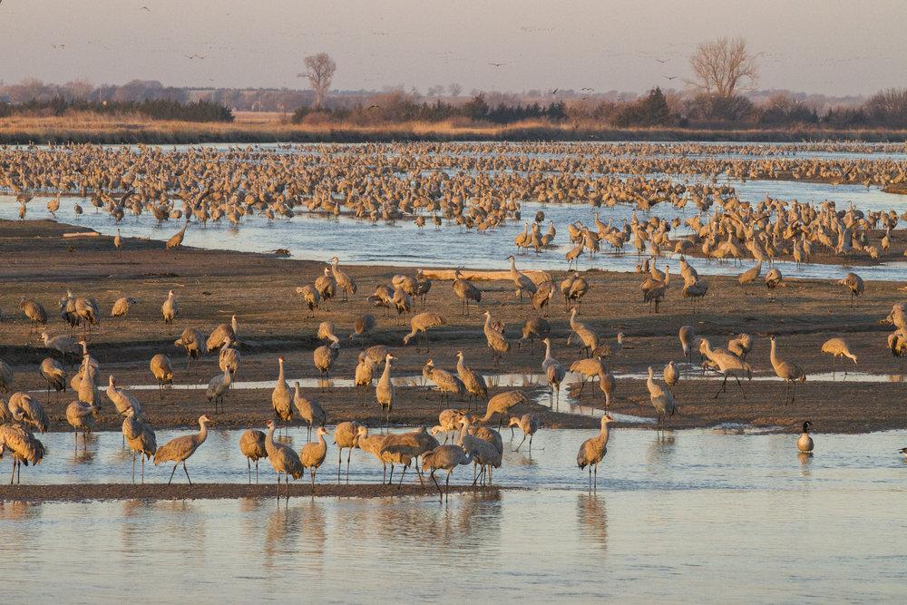 Crane migration on Mormon Island. Photo by: Ben Gottesman, Center for Global Soundscapes