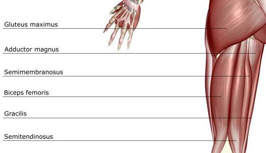 Hamstring-Muscles-Diagram.jpg