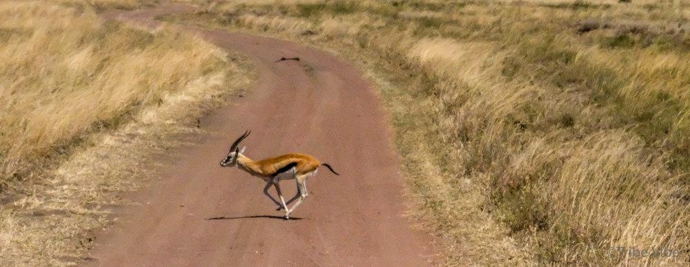 gazelles-2.jpg