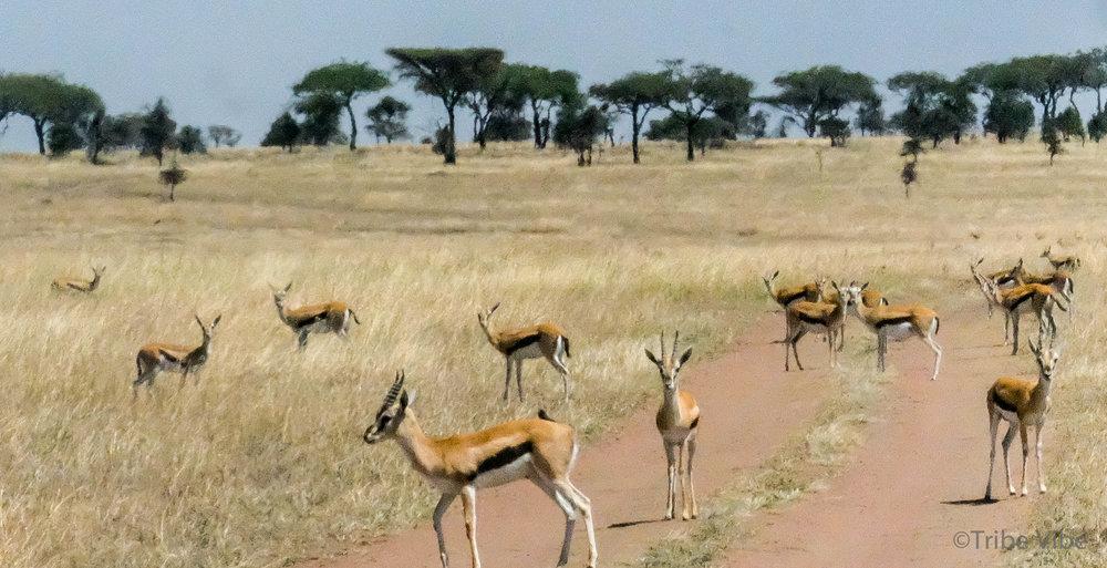 gazelles-3.jpg