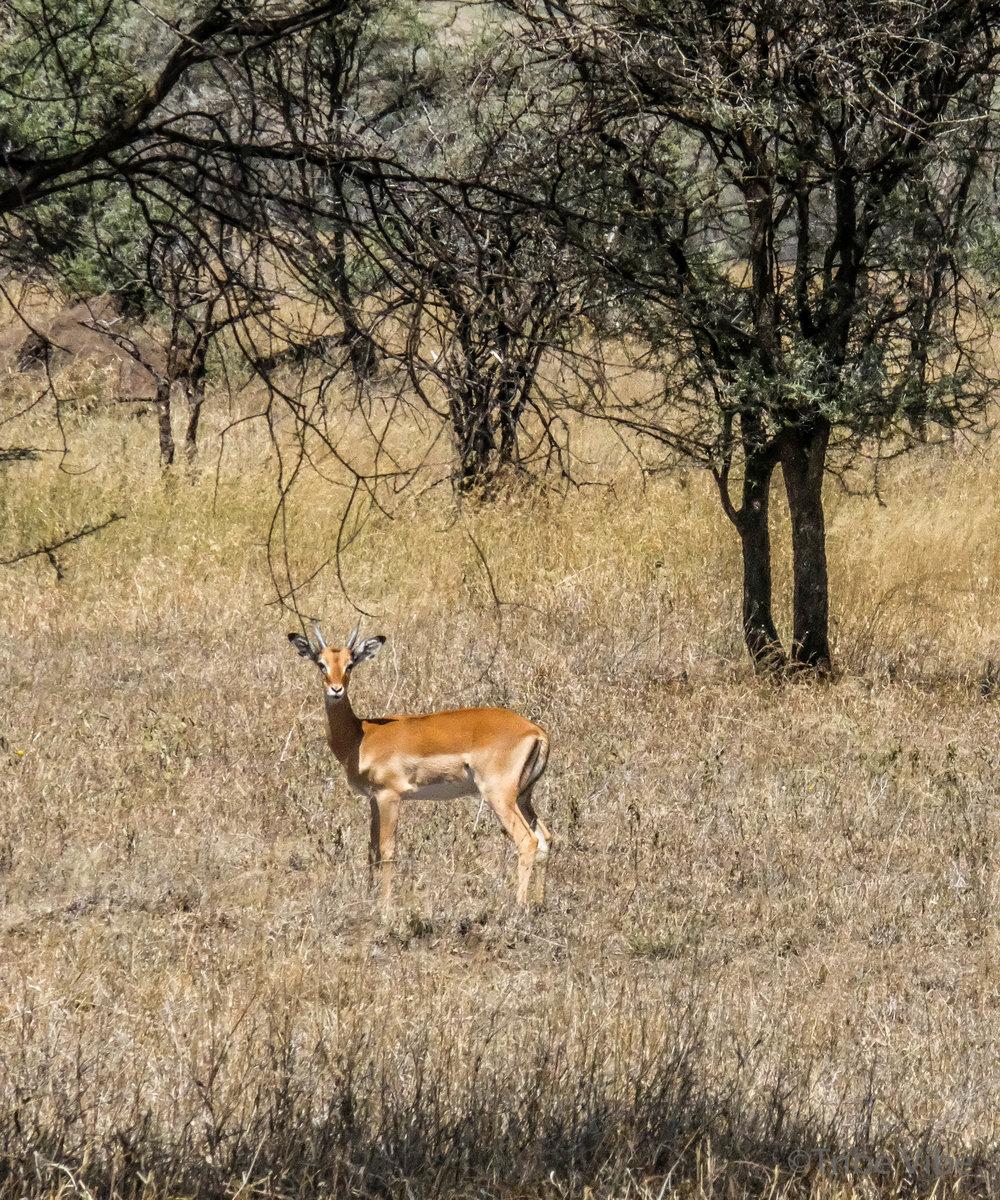 gazelles-5.jpg