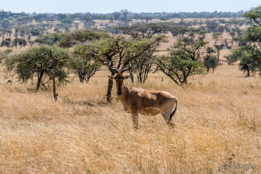 gazelles-8.jpg