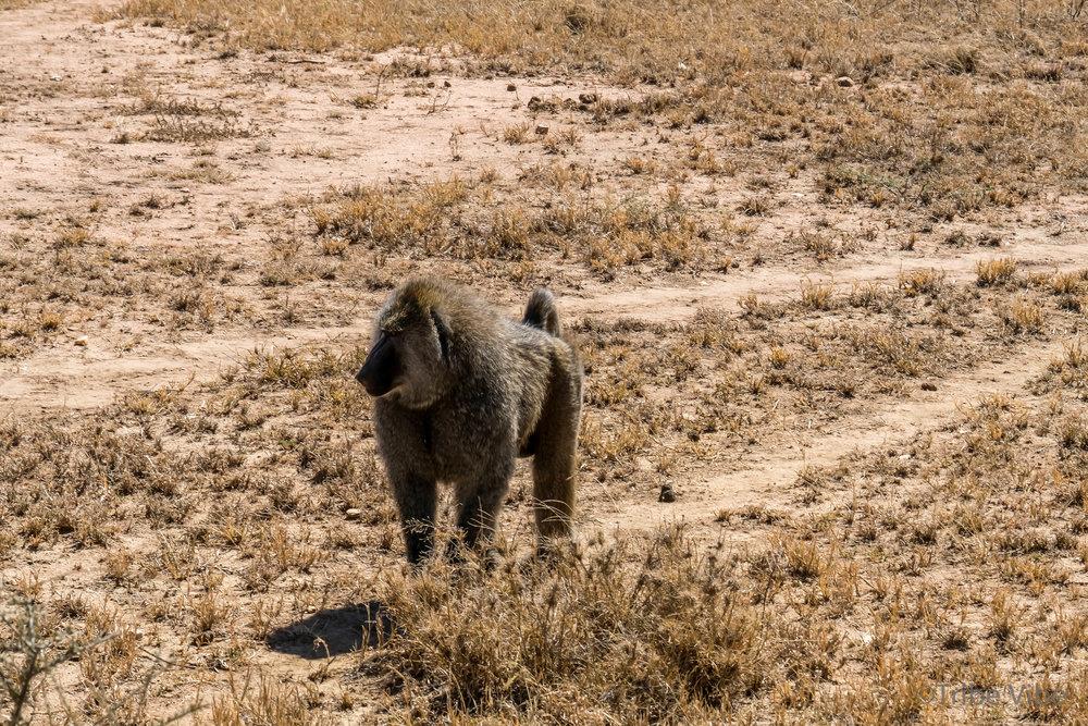 baboon-4.jpg
