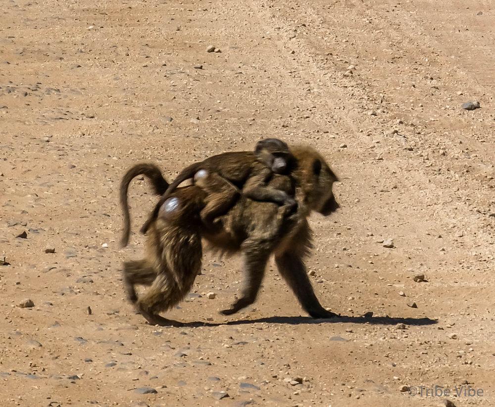 baboon-8.jpg