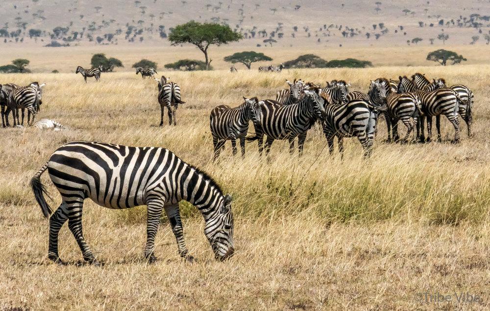 zebras-3.jpg