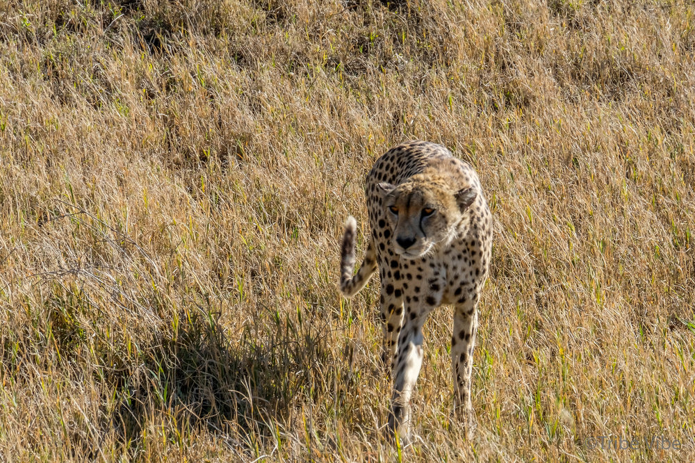 The agile Cheetah