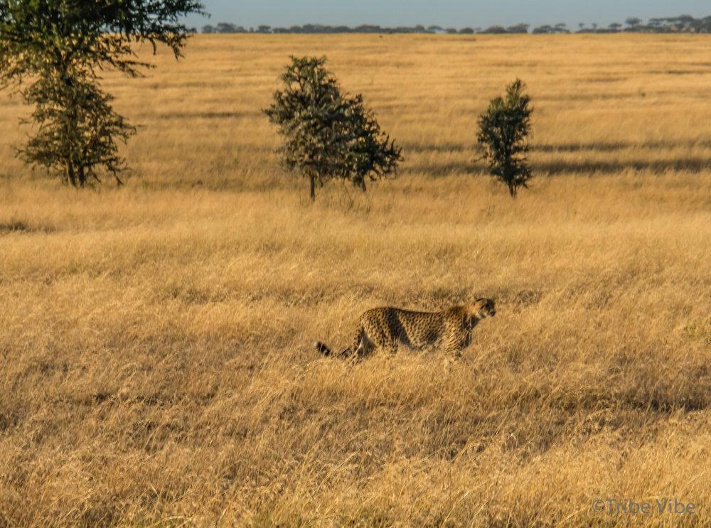 cheetah-22.jpg