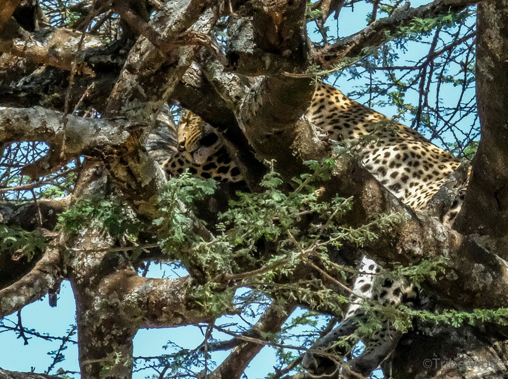 lepard-3.jpg
