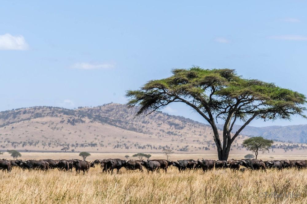 buffalo-5.jpg