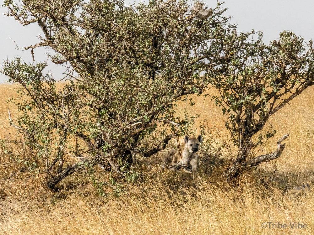 hyena-3.jpg