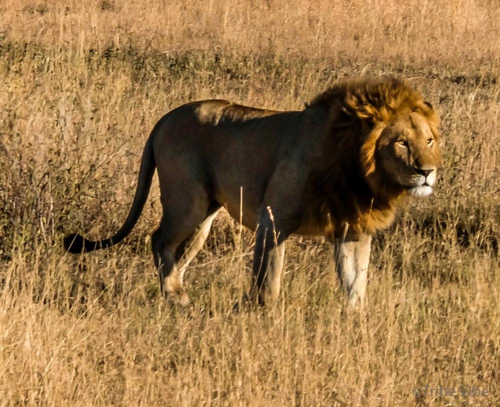 lions-19.jpg