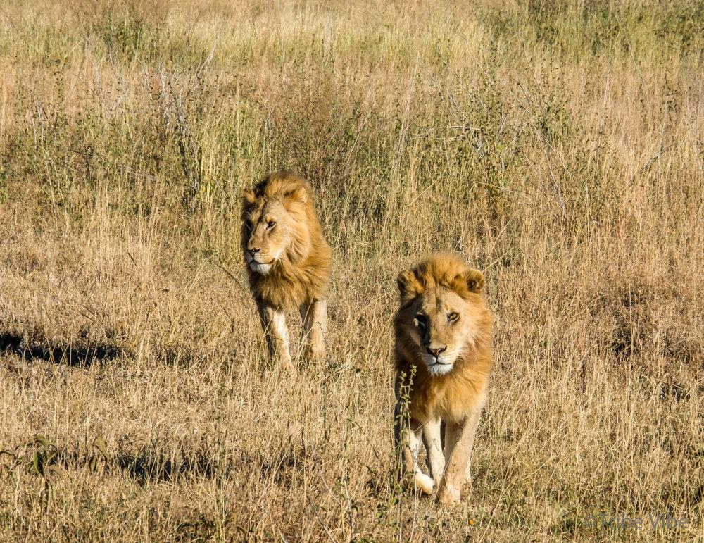 lions-27.jpg