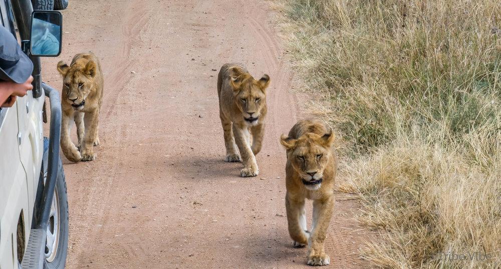 lions-43.jpg