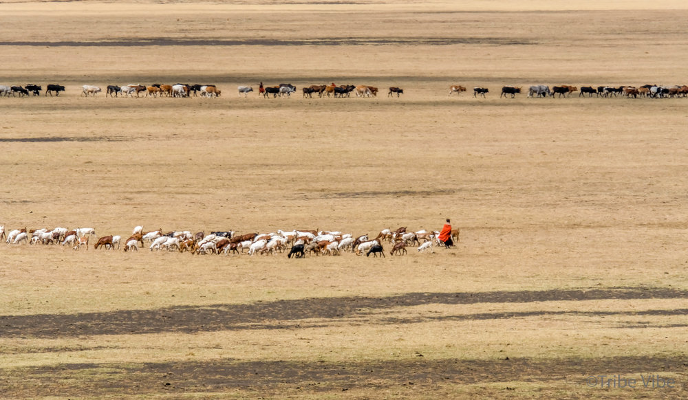 Massai with their livestock in The Ngorongoro Crater area, Tanzania.