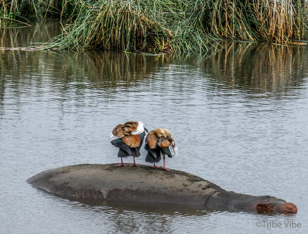 hippos9.jpg