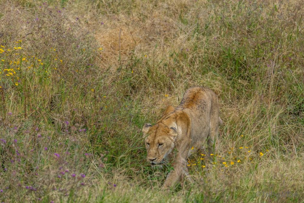 lion9.jpg