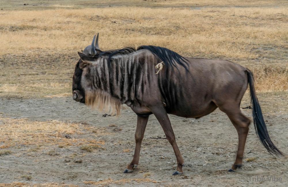 wildebeest6.jpg