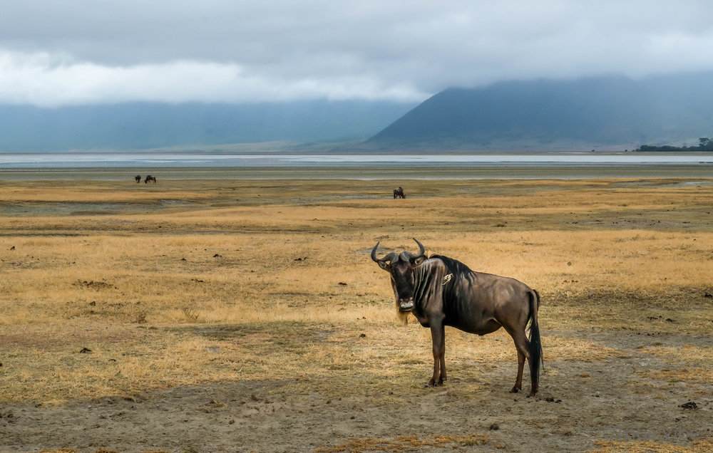 Wildebeest in the Ngorongoro Crater. African Family Safari to Tanzania.