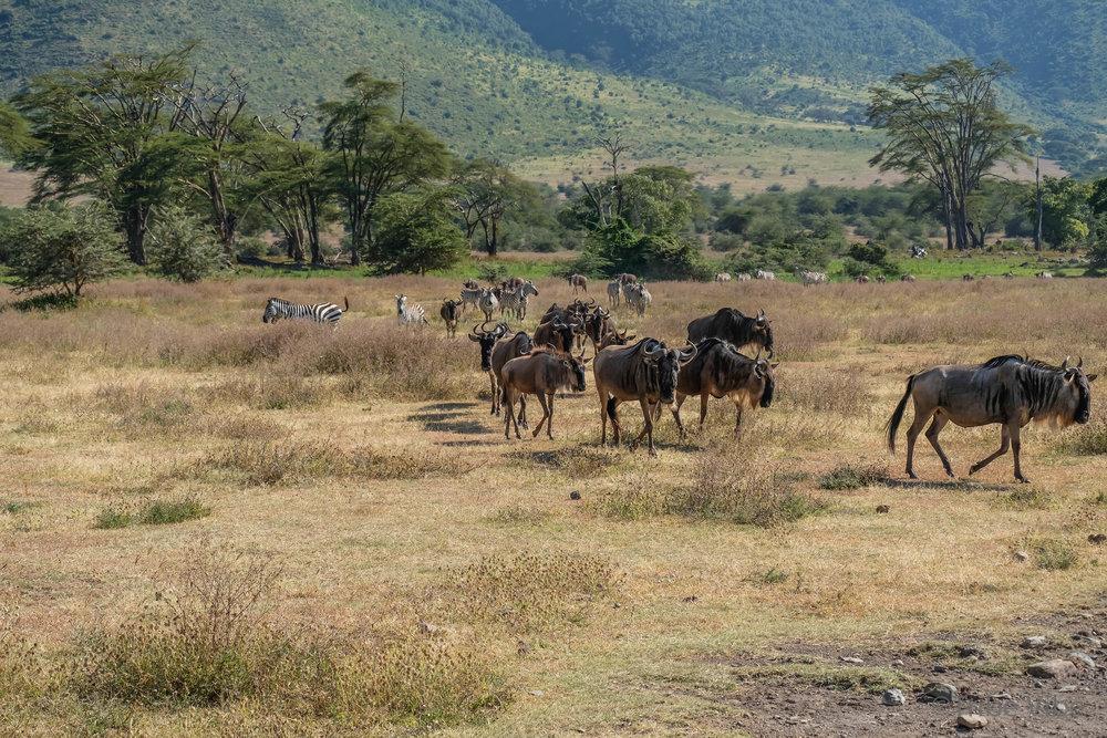 wildebeest19.jpg