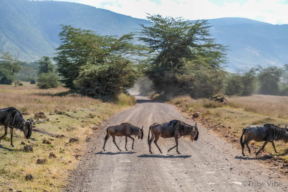 wildebeest20.jpg