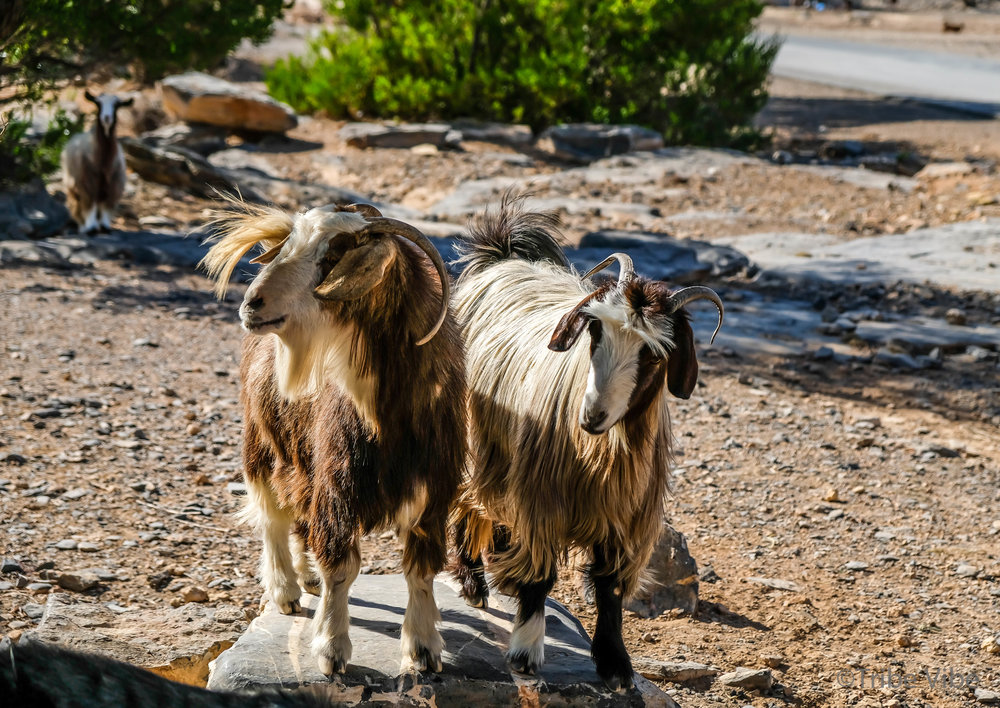 We could have photographed them all day. Jebel Shams, Oman