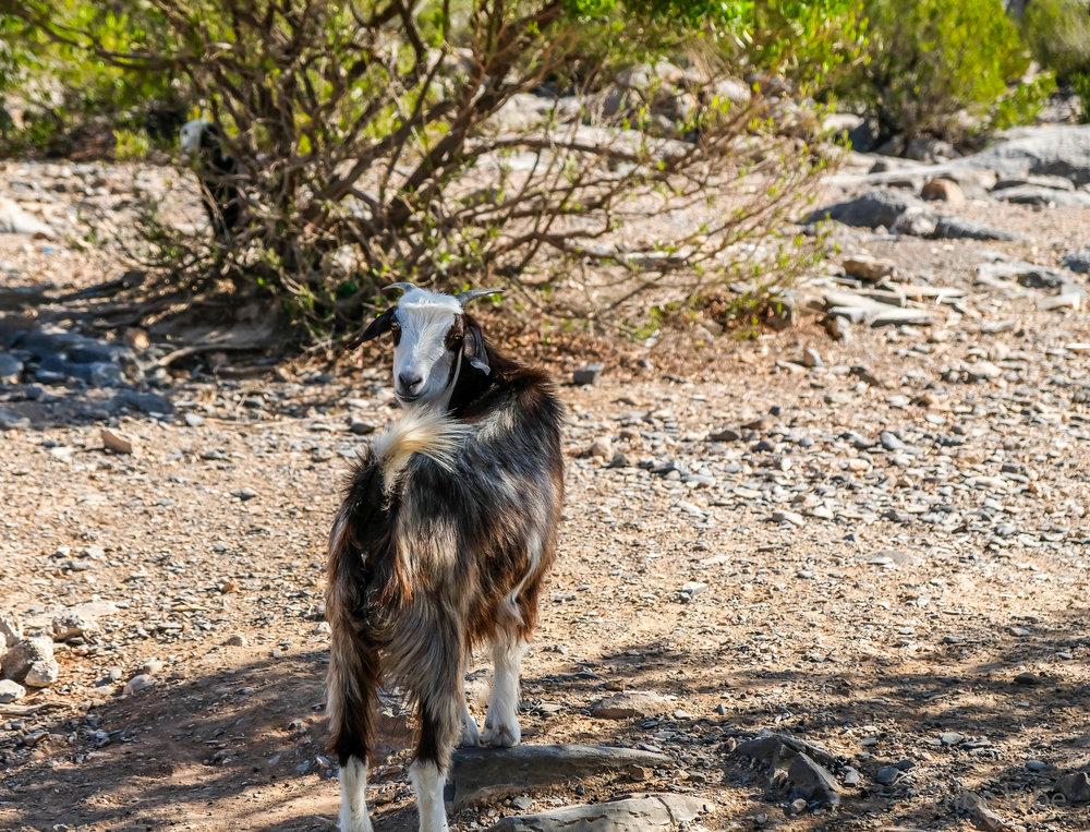 goats6.jpg