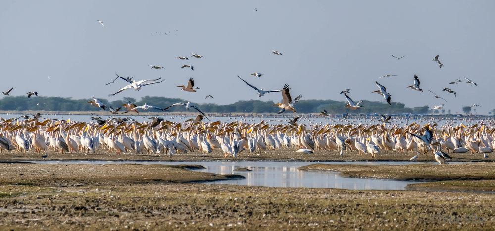 Lake Manyara birds, Tanzania16.jpg