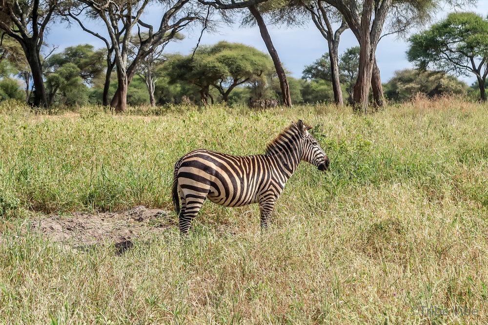 Tarangire zebra14.jpg