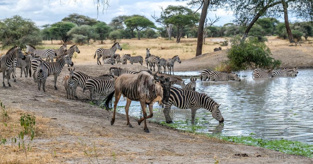 Tarangire zebra7.jpg