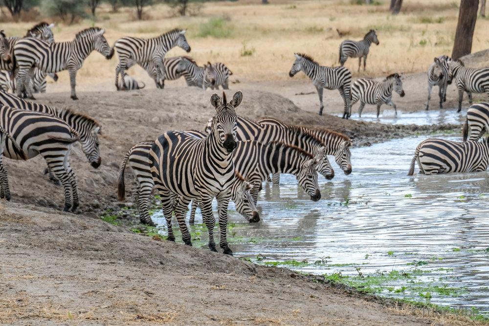 Tarangire zebra4.jpg