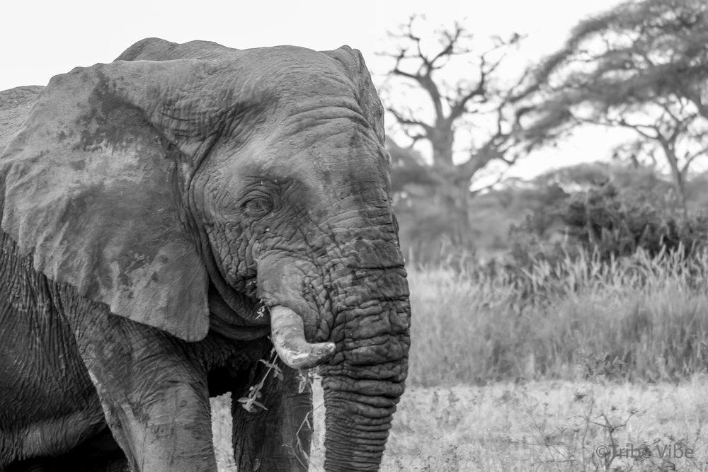 Tarangire elephant2.jpg