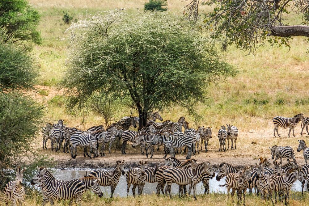 Zebras in Tarangire National Park