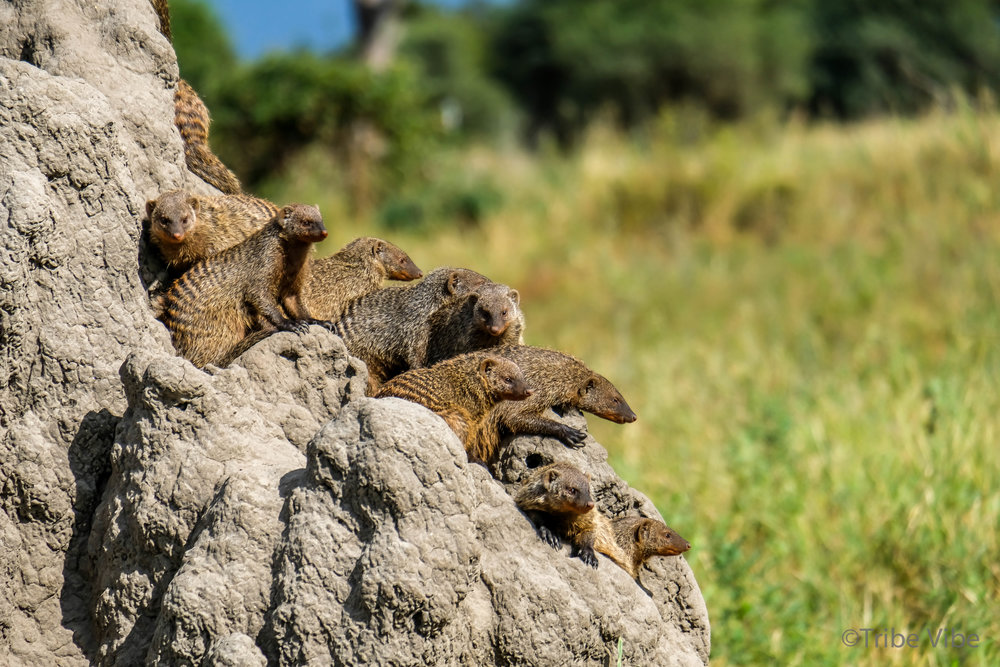 Tarangire mongoose3.jpg