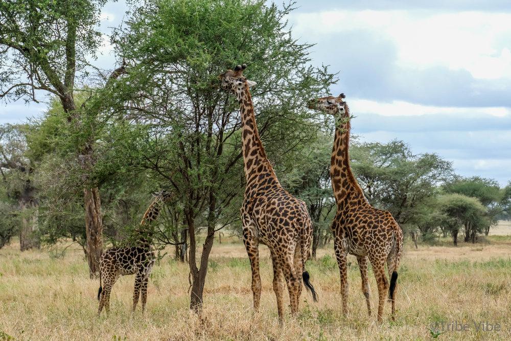 Giraffes in Tarangire National Park